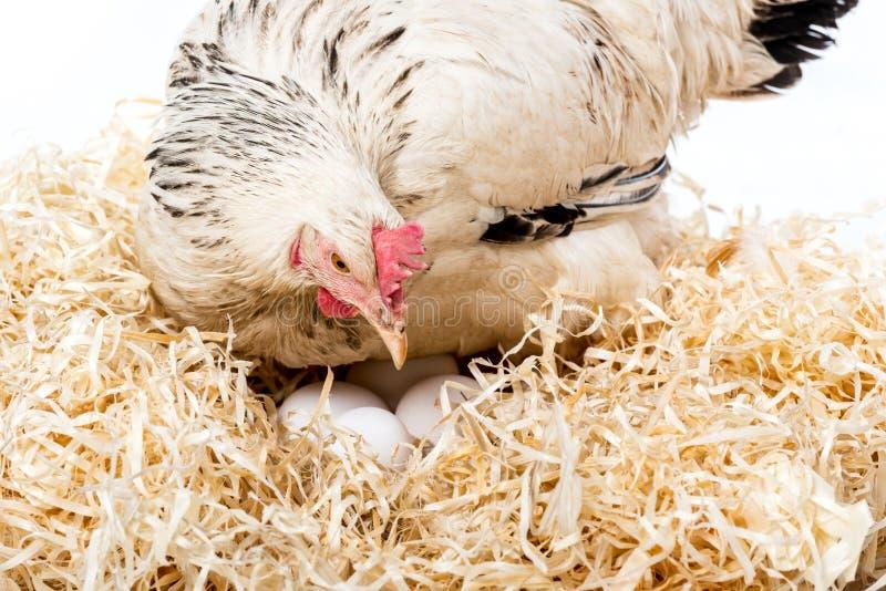 opinión del primer la gallina blanca que se sienta en jerarquía con los huevos imágenes de archivo libres de regalías