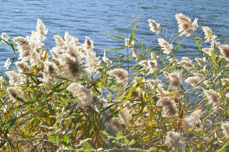 Opinión del primer a las plantas de lámina comunes en fondo del agua azul imagen de archivo libre de regalías
