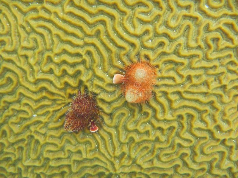 Opinión del primer los gusanos del árbol de navidad en un coral de cerebro gigante imagen de archivo