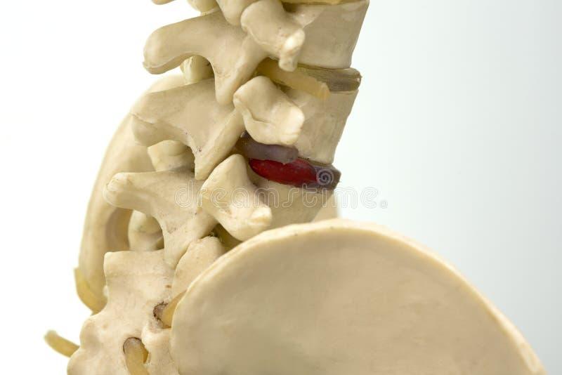 Opinión Del Primer Del Modelo De La Vértebra Lumbar Imagen de ...
