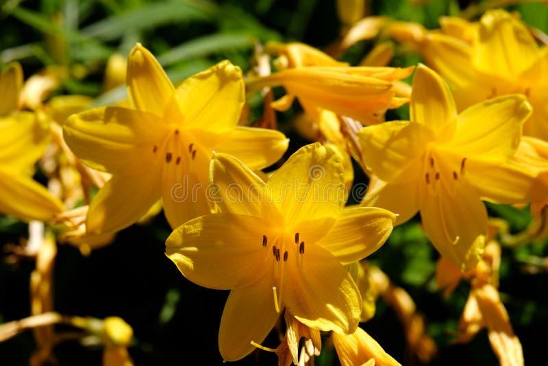 Opinión del primer sobre las flores amarillas del lirio de limón Lilioasphodelus del Hemerocallis imagen de archivo libre de regalías