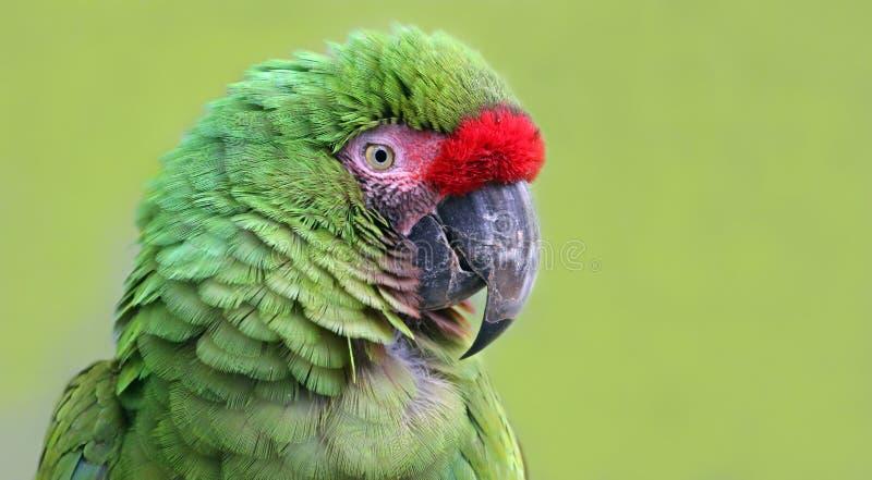 Opinión del primer un Macaw militar fotografía de archivo
