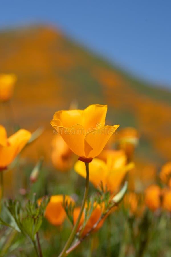 Opinión del retrato una sola amapola de California anaranjada en foco contra un cielo soleado azul brillante fotografía de archivo