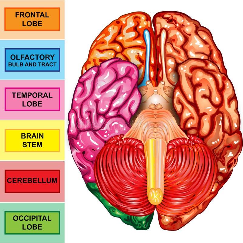 Opinión del superficie inferior del cerebro humano ilustración del vector