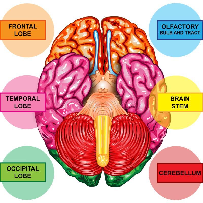 Opinión del superficie inferior del cerebro humano libre illustration