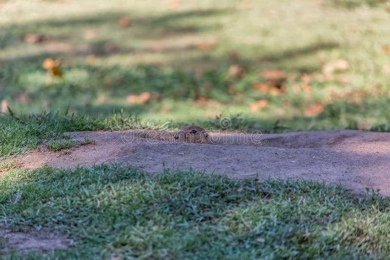 Opinión detallada un solo roedor divertido, perro de las praderas, género Cynomys, dentro del agujero de la madriguera en hierba  imagenes de archivo