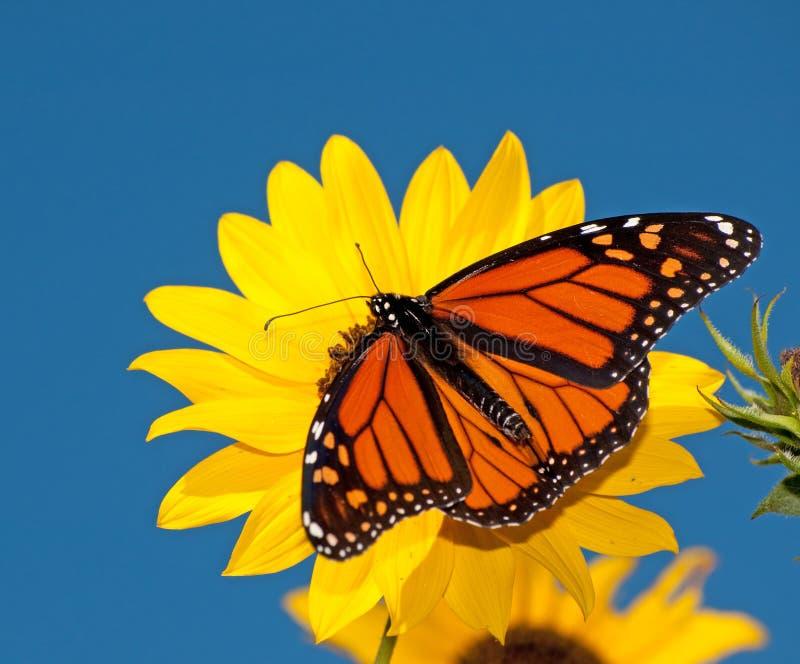 Opinión dorsal una mariposa de monarca masculino imagen de archivo libre de regalías