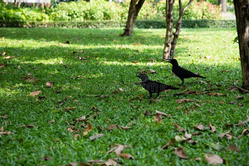 Opinión dos cuervos sobre un campo de hierba verde con las hojas marrones fotografía de archivo libre de regalías