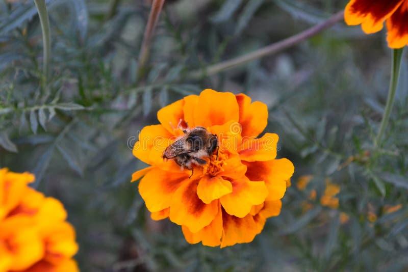 Opinión el abejorro que se sienta en la flor imagen de archivo libre de regalías