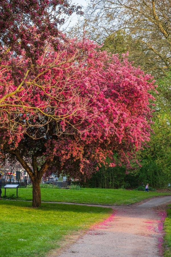Opinión escénica de la primavera de una trayectoria de enrrollamiento del jardín alineada por Cherry Trees hermoso en flor en el  fotos de archivo