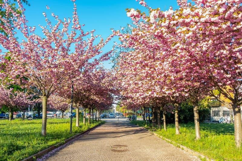 Opinión escénica de la primavera de una trayectoria de enrrollamiento del jardín alineada por Cherry Trees hermoso en flor en  foto de archivo libre de regalías