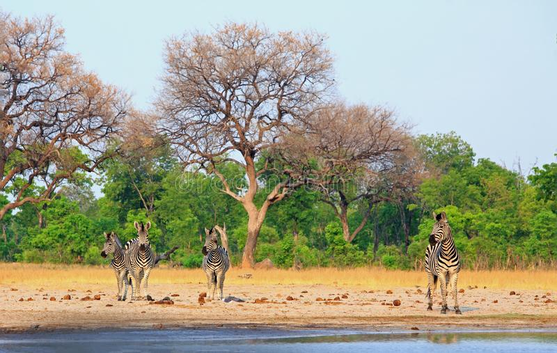 Opinión escénica una pequeña manada de cebras en el borde de un waterhole, parque nacional de Hwange, Zimbabwe fotografía de archivo