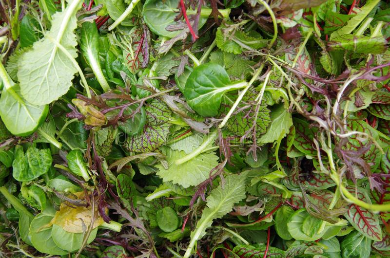 Opinión fresca del primer de los verdes de la ensalada mezclada fotografía de archivo libre de regalías