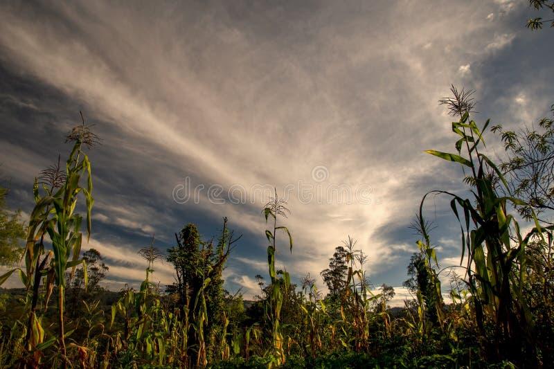 Opinión granangular una cosecha del maíz foto de archivo libre de regalías