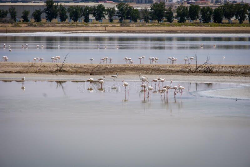Opinión grandes flamencos en Al Wathba Wetland Reserve Abu Dhabi, UAE fotografía de archivo libre de regalías