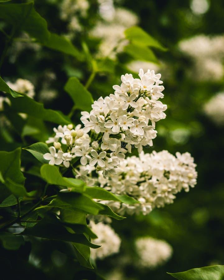 Opinión hermosa del blanco Lilac imagen de archivo libre de regalías