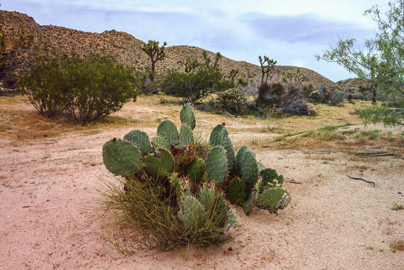 Opinión hermosa del paisaje del cactus grande en California, los E.E.U.U. fotografía de archivo