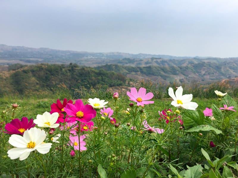 Opinión hermosa del paisaje el color del campo de flor del cosmos con el fondo de la montaña imagenes de archivo