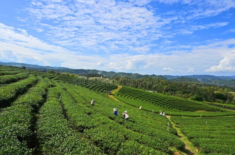 Opinión hermosa del panorama de la granja del té verde fotos de archivo