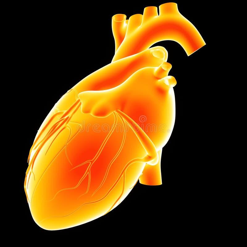 Opinión humana del lateral del corazón imagenes de archivo
