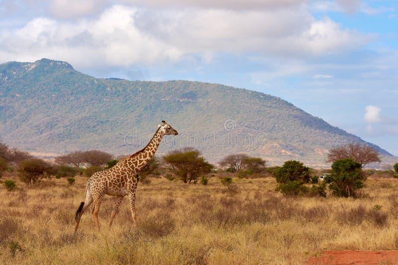 Opinión la jirafa en el parque nacional de Tsavo en Kenia, África Coche del safari, cielo azul con las nubes y montaña fotografía de archivo libre de regalías