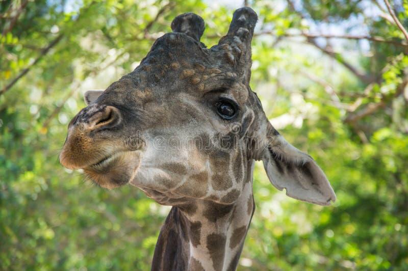 Opinión la jirafa en selvas imagen de archivo