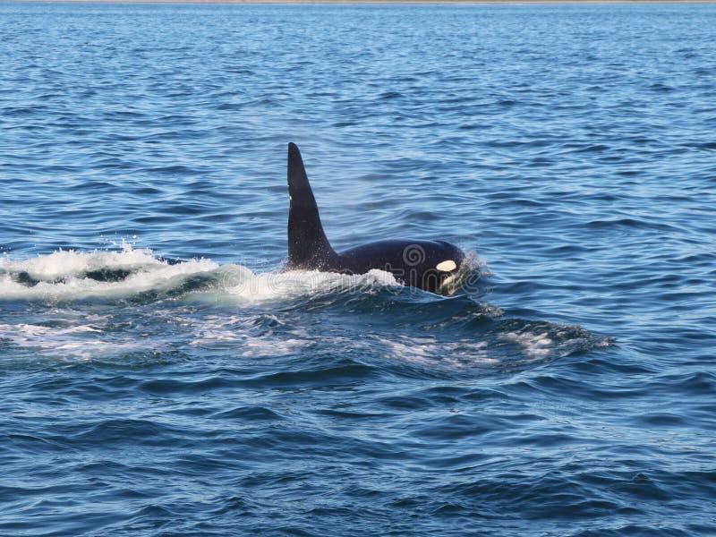 Opinión la orca por encima de la superficie cerca de la península de Kamchatka, Rusia foto de archivo
