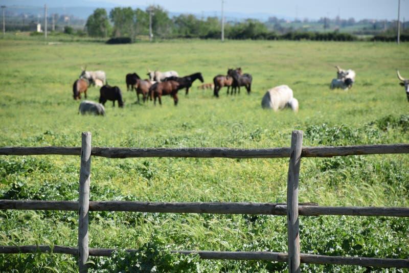 Opinión los caballos y las vacas que pastan detrás de la cerca de madera foto de archivo