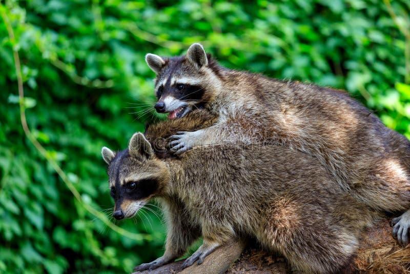 Opinión los mapaches comunes adultos de los pares en el fondo verde foto de archivo libre de regalías