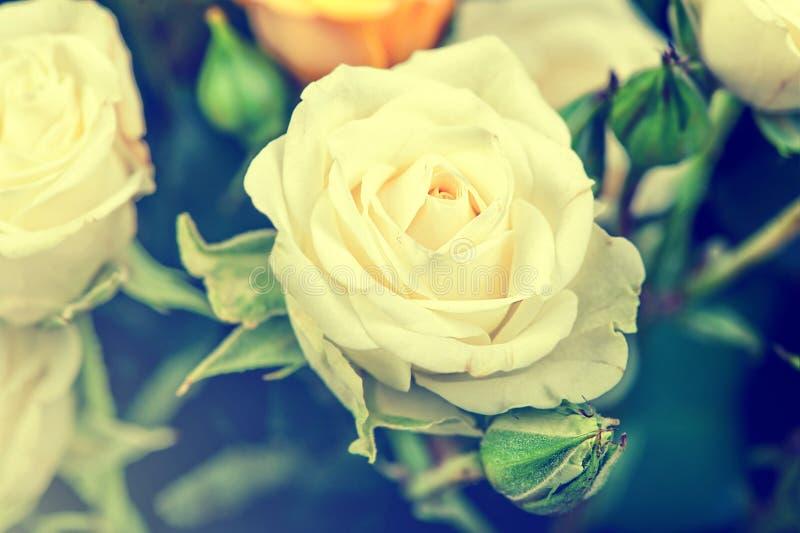 Opinión macra de Defocus la rosa grande del blanco imagen de archivo libre de regalías