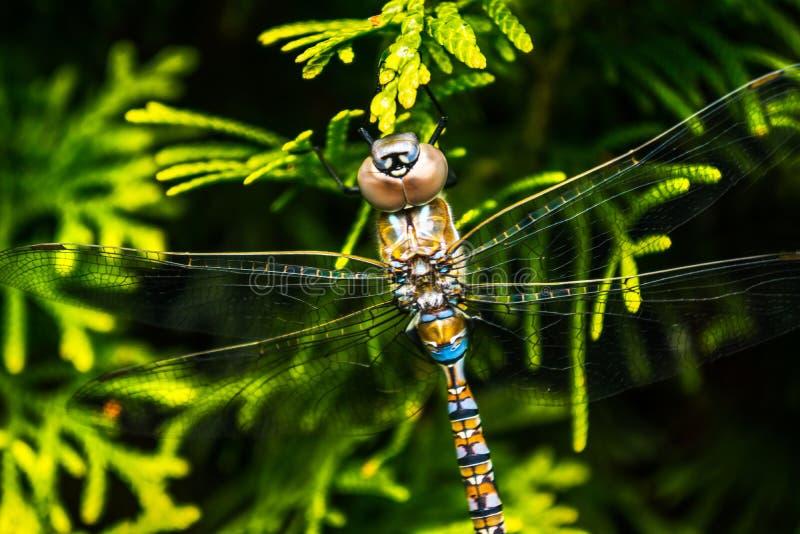 Opinión macra de la libélula de por encima imagenes de archivo