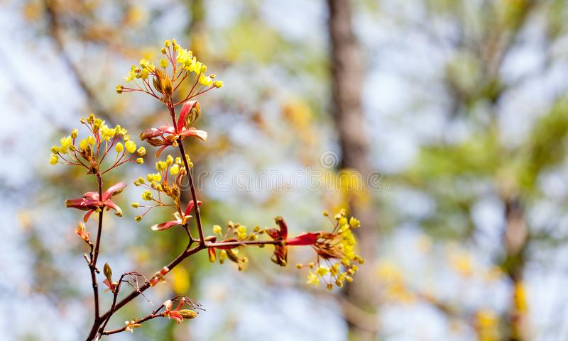 Opinión macra de la rama de árbol de arce del tiempo de primavera Profundidad del campo baja foto de archivo