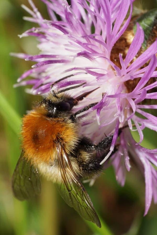Opinión macra el abejorro anaranjado brillante mullido caucásico Bom del campo imagenes de archivo
