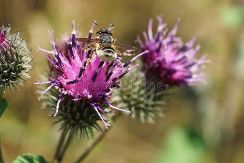 Opinión macra el Megachile caucásico rayado posterior de los himenópteros imágenes de archivo libres de regalías