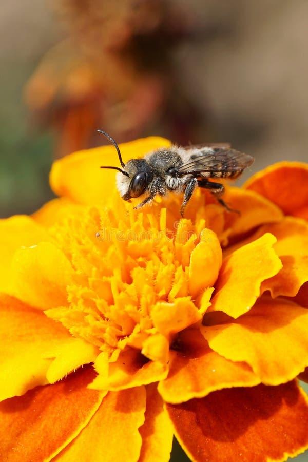 Opinión macra la abeja caucásica por el rotundata w del Megachile de los himenópteros fotos de archivo