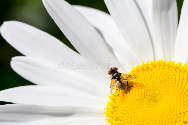 Opinión macra la mosca caucásica superior de la flor fotos de archivo