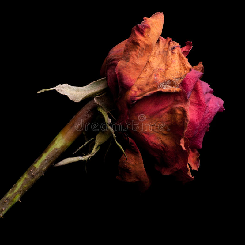 Rosas muertas imágenes de archivo libres de regalías