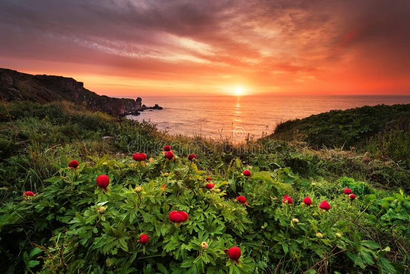 Opinión magnífica de la salida del sol con las peonías salvajes hermosas en la playa imagenes de archivo