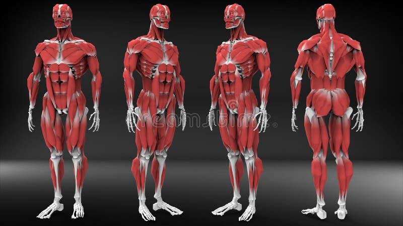 Opinión masculina de la anatomía stock de ilustración