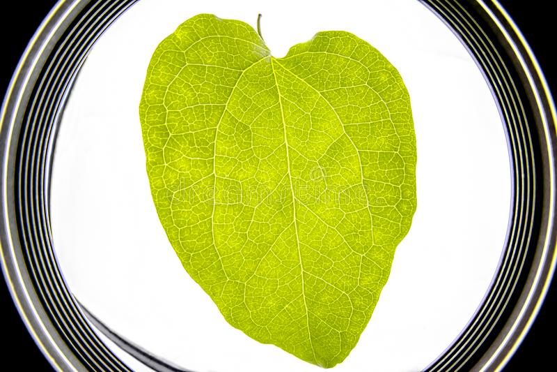 Opinión microscópica de una hoja verde - visión ascendente cercana del fisheye con el le fotografía de archivo libre de regalías