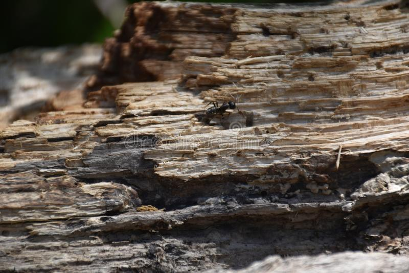 Opinión negra de la hormiga sobre la madera fotos de archivo libres de regalías