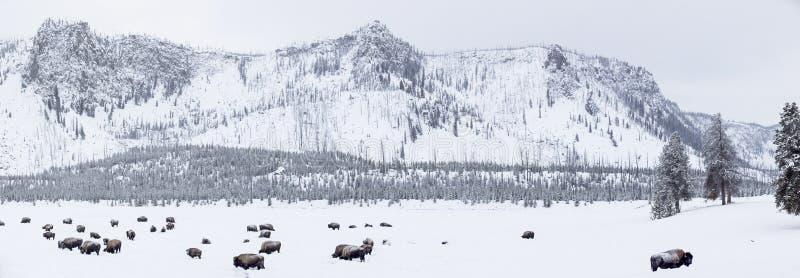 Opinión panorámica búfalos en invierno en el parque de Yellowstone foto de archivo