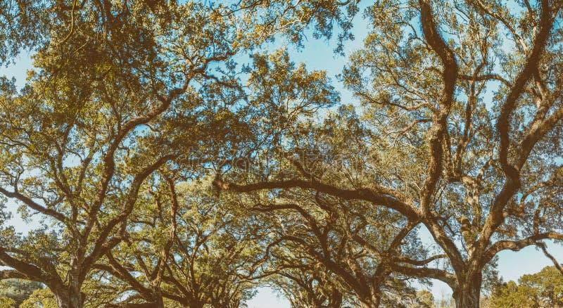 Opinión panorámica de la plantación del callejón del roble, Luisiana imagen de archivo libre de regalías