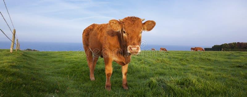 Opinión panorámica la vaca marrón fotos de archivo libres de regalías