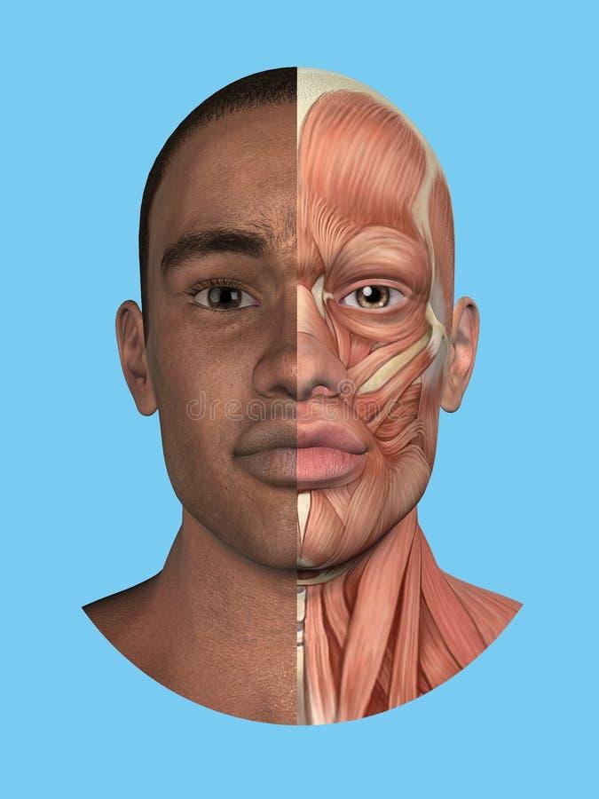 Opinión partida de la anatomía de la cara libre illustration