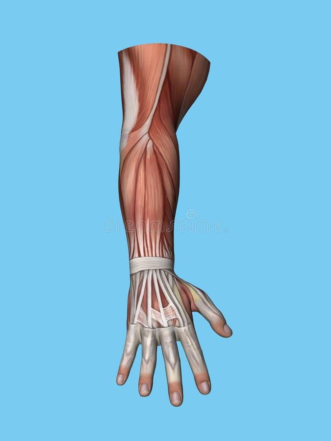 Opinión posterior de la anatomía de la mano y del brazo stock de ilustración
