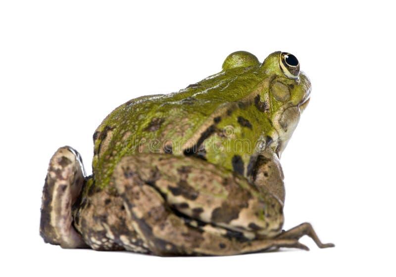 Opinión posterior una rana comestible - Rana esculenta fotografía de archivo