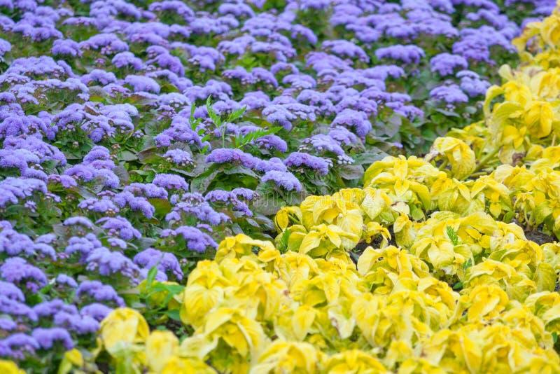 Opinión sobre a de las flores violetas del ageratum y de la planta amarilla del coleo imagen de archivo