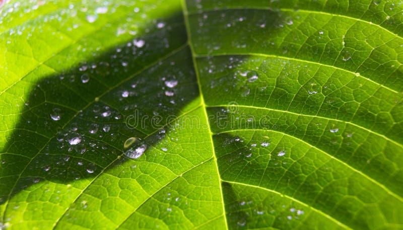 Opinión sobre el lado adaxial de la hoja fresca de la annona cherimola de la chirimoya con las gotitas de agua Modelo natural de  imagen de archivo