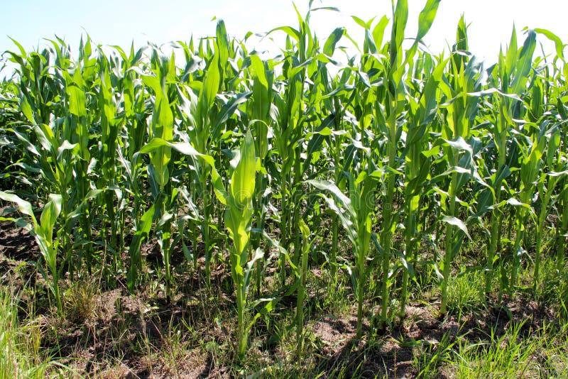 Opinión sobre plantas de maíz en un campo con un cielo azul arriba foto de archivo